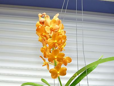 Orchid  Vanda   Ascda  Suksamran Sunlight    South Florida Grown