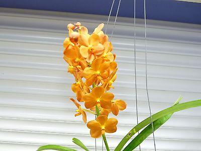Orchid  Vanda   Ascda  Suksamran Sunlight    South Florida Grown
