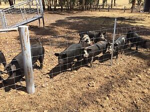 Pigs for sale Westdale Tamworth City Preview