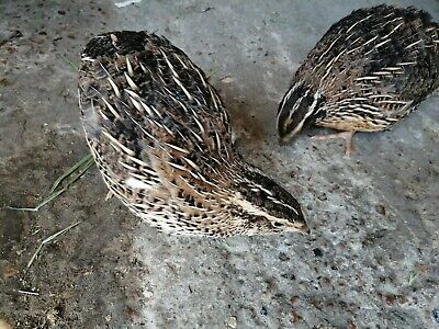 POINT OF LAY JUMBO BROWN COURTUNIX QUAIL.
