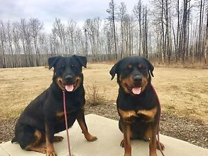 Rehome two Rottweiler's