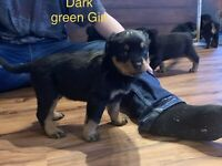 Rottweiler pups all sold.