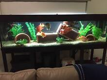 8x2x2 FT Fish tank with Optional American Cichlid collection Bracken Ridge Brisbane North East Preview