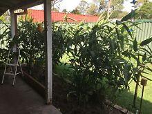 Tiger Grass Inground Belmont Brisbane South East Preview
