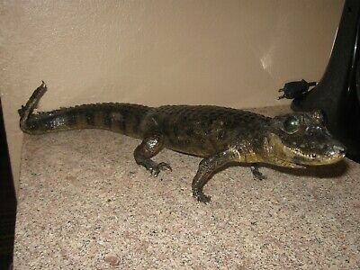 """Vintage Taxidermy Mount Full Body Alligator or Caiman 18""""  Reptile"""