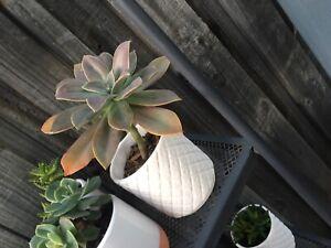 Succulents in ceramic pots $10 each Meadow Springs Mandurah Area Preview