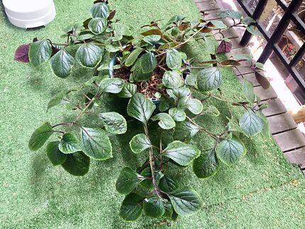 Big plant home decor Swedish ivy