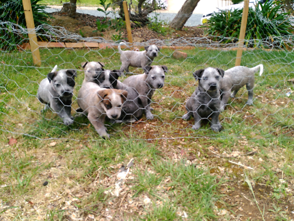 Blue / Red Cattle Dogs