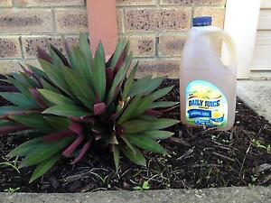 Rhoeo plant with free worm tea High Wycombe Kalamunda Area Preview
