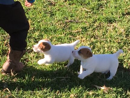 Purebred Jack Russell Pups Stroud Great Lakes Area Preview