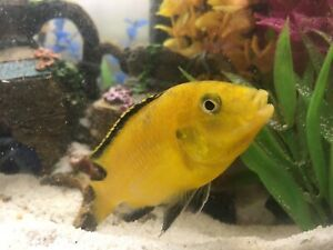 Yellow Lab Cichlid for Adoption