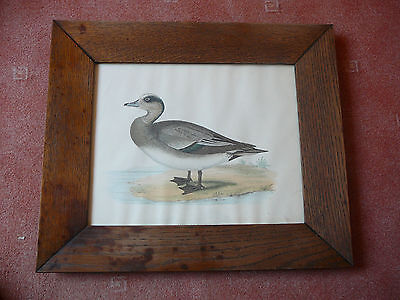American Wigeon - Lithografie altcoloriert