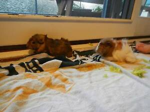 2 x Female Guinea Pigs Avalon Pittwater Area Preview