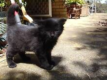 2 gorgeous black Kittens looking for a loving home Hornsby Hornsby Area Preview