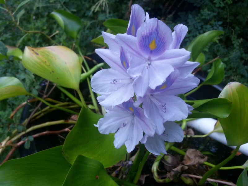 2 real water hyacinth plants