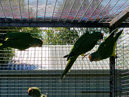 Peach front conures