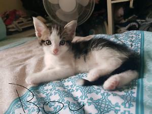 5 beautiful ragdoll x kittens