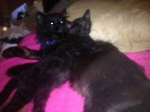 Lost black male cat Girrawheen Wanneroo Area Preview