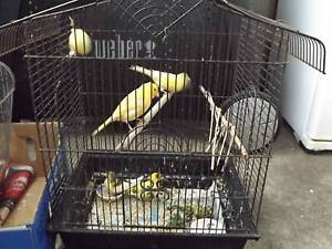 For sale canaries Albany Albany Area Preview