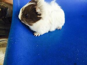 Long fur baby guinea pigs Willetton Canning Area Preview