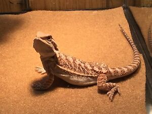Bearded dragon and extra set up