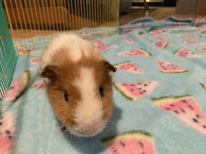 Male guinea pig and cage