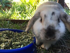 lop eared rabbit Roselands Canterbury Area Preview