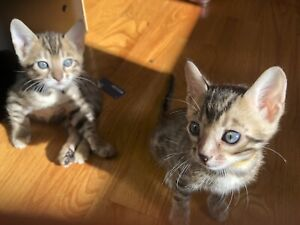 Pure-bred Bengal Kittens, Never Caged, Lovely Personalities