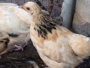 Bantam sussex pullets Morayfield Caboolture Area Preview