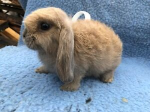 Mini lop bunny rabbit purebred