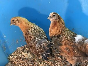 Two Easter Egger Pullets for sale