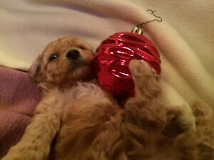 2 Red Male Toy Poodle