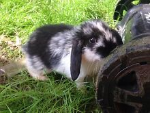 Baby rabbits 6 weeks old mini lop Ferntree Gully Knox Area Preview