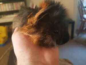 Male baby guinea pigs for sale Adamstown Newcastle Area Preview