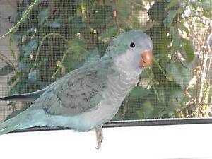 LOST A BLUE QUAKER IN LIVERPOOL AREA. COMPANION BIRD BADLY MISSED Liverpool Liverpool Area Preview