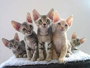 WANTED - Retired sphynx/Devon or pure-bred shorthair cat Cook Area Preview