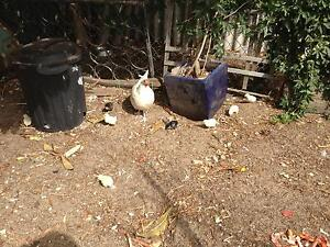 Baby Chicks For Sale Kenwick Gosnells Area Preview