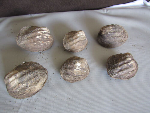 Set of 6 50 Year Old Stock Matched Whole Mother of Pearl Freshwater Mussel Shell