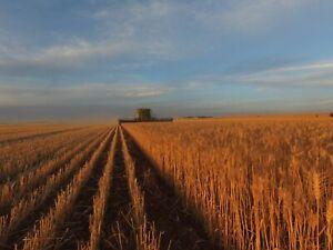 Prime Wheat