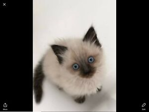 Absolutely stunning pure bred ragdoll kittens for sale.