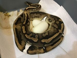 Breeder Pied Female Ball Python