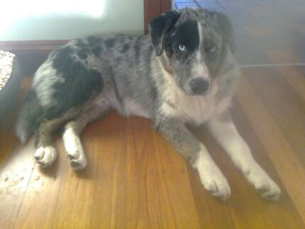 Blue Merle Border Collie X Brooklyn Hornsby Area Preview