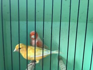 Orange and variegated canaries for sale