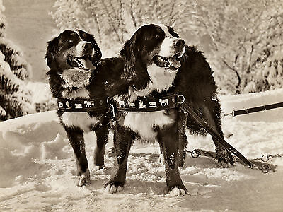 BERNESE MOUNTAIN DOGS IN HARNESS IN SNOW SCENE LOVELY GREETINGS NOTE CARD
