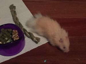 Adorable hamster - free to a good home