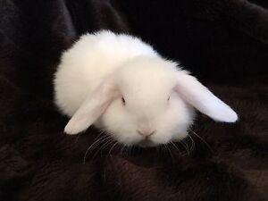 Mini Lop Rabbits Dalkeith Nedlands Area Preview