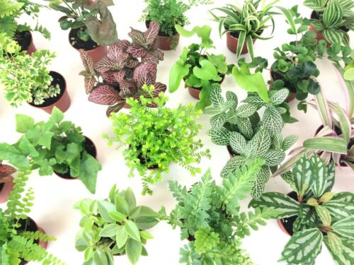 "Mini Terrarium Plants (6 Plants) (2"" Pots) Fairy Garden Assorted Varieties"