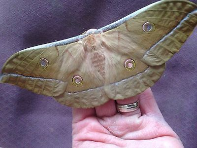 Chinese Oak Silkmoth Antheraea pernyi 20 Eggs Live insects