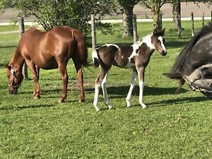 CSH X Pony Filly Weanling