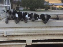 Blue heeler pups for sale Young Young Area Preview